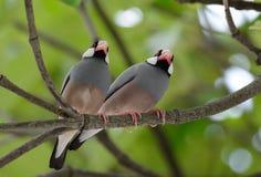 Java Sparrow Lonchura oryzivora Royalty Free Stock Images