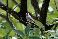 Java Sparrow Lonchura oryzivora Stock Images