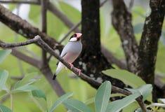 Java Sparrow Lonchura oryzivora Stock Image