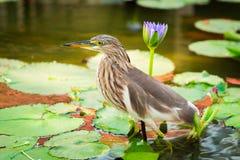 Beautiful Javan Pond Heron bird Stock Photos
