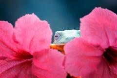 Beautiful javan tree frog sleeping. Javanese frogs fall asleep behind flowers Royalty Free Stock Photography