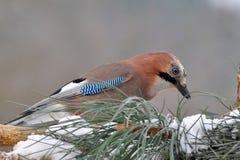 Beautiful jay bird Stock Photos