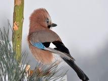 Beautiful jay bird Stock Photo