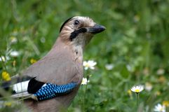 Beautiful Jay bird Royalty Free Stock Image