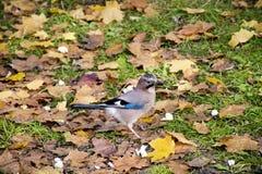 Beautiful Jay bird in an autumn garden Royalty Free Stock Images