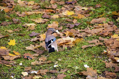 Beautiful Jay bird is looking for food Royalty Free Stock Photo