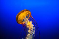 Beautiful Jelly Fish  Stock Image