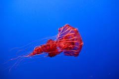 Beautiful Jelly fishes Royalty Free Stock Images