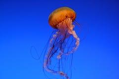 Beautiful Jellyfish. A stunning jellyfish on a blue background Stock Photos
