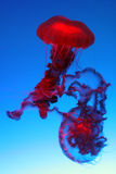 Beautiful red jellyfish Stock Image