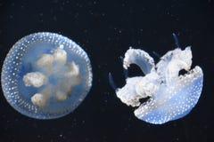Beautiful Jellyfish. In an aquarium royalty free stock images