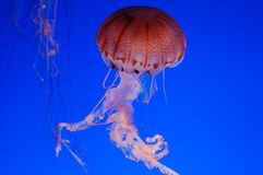 Beautiful jellyfish on a blue background Stock Images