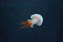 Beautiful jellyfish in blue water Stock Photography