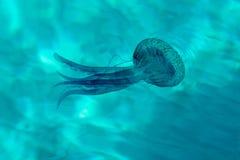 Violet jellyfish stock photography