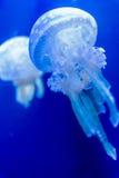 Beautiful jellyfish Stock Photography