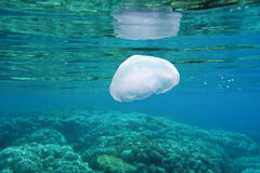 Beautiful Jellyfish Floating Among Coral Reef Royalty Free Stock Photography