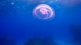 Beautiful Jellyfish Floating Among Coral Reef Royalty Free Stock Image