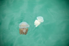 Beautiful Jellyfish Floating in the Sea Stock Image
