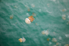 Beautiful Jellyfish Floating in the Sea Royalty Free Stock Photography