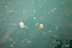 Beautiful Jellyfish Floating in the Sea Stock Photography