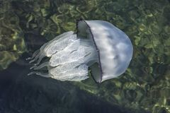 Beautiful jellyfish swimming in the sea. Top view stock photography