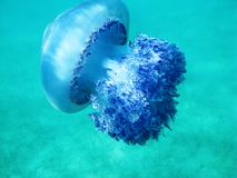 Beautiful jellyfish under blue water in the sea in Greece. Diving in summertime, watching underwater creatures. Natural beauty Royalty Free Stock Image