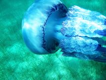 Beautiful jellyfish under blue water in the sea swimming closely. Diving in summertime, watching underwater creatures. Detailed shot of natural beauty Royalty Free Stock Photos
