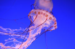 Beautiful jellyfishes Stock Images