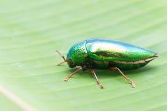 Beautiful Jewel Beetle or Metallic Wood-boring (Buprestid) on ba Royalty Free Stock Photography