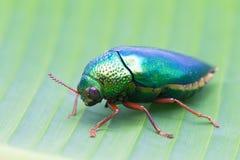 Beautiful Jewel Beetle or Metallic Wood-boring (Buprestid) on ba Royalty Free Stock Image