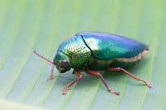 Beautiful Jewel Beetle or Metallic Wood-boring (Buprestid) on ba Stock Photos