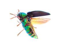 Beautiful Jewel Beetle or Metallic Wood-boring (Buprestid) Flyin Royalty Free Stock Photo