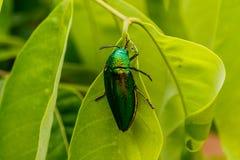 Beautiful Jewel Beetle or Metallic Wood-boring (Buprestid) on gr Stock Photography