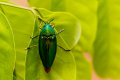 Beautiful Jewel Beetle or Metallic Wood-boring (Buprestid) Stock Images