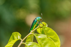 Beautiful Jewel Beetle or Metallic Wood-boring (Buprestid) Stock Image
