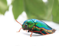 Beautiful Jewel Beetle or Metallic Wood-boring (Buprestid) top v Royalty Free Stock Photos