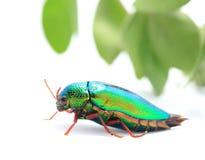 Beautiful Jewel Beetle or Metallic Wood-boring (Buprestid) top v Stock Images