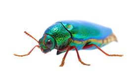 Beautiful Jewel Beetle or Metallic Wood-boring (Buprestid) top v. Iew isolated on white background Royalty Free Stock Photos