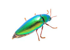 Beautiful Jewel Beetle or Metallic Wood-boring (Buprestid) top v. Iew isolated on white background Stock Photos