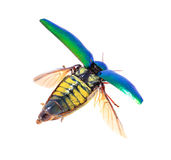Beautiful Jewel Beetle or Metallic Wood-boring (Buprestid) top v Royalty Free Stock Photography