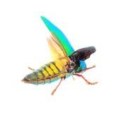 Beautiful Jewel Beetle or Metallic Wood-boring (Buprestid) top v Royalty Free Stock Image