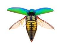 Beautiful Jewel Beetle or Metallic Wood-boring (Buprestid) top v Stock Image
