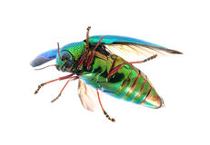 Beautiful Jewel Beetle or Metallic Wood-boring (Buprestid) top v Royalty Free Stock Images