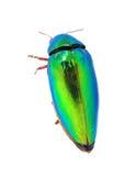 Beautiful Jewel Beetle or Metallic Wood-boring (Buprestid) top v Royalty Free Stock Images