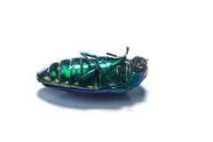 Beautiful Jewel Beetle or Metallic Wood-boring Stock Image