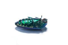 Beautiful Jewel Beetle or Metallic Wood-boring Stock Photography