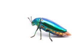 Beautiful Jewel Beetle or Metallic Wood-boring (Buprestid) top view Stock Image