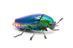 Beautiful Jewel Beetle or Metallic Wood-boring (Buprestid) top view Royalty Free Stock Photo