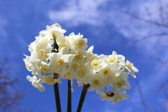 Jonquil Flowers Growing with Blue Sky Background. Beautiful jonquil flowers growing with blue sky in background stock photos