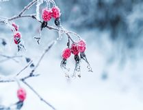 Juicy red rosehip berries hanging in the winter garden covered. Beautiful juicy red rosehip berries hanging in the winter garden covered with white fluffy royalty free stock photos